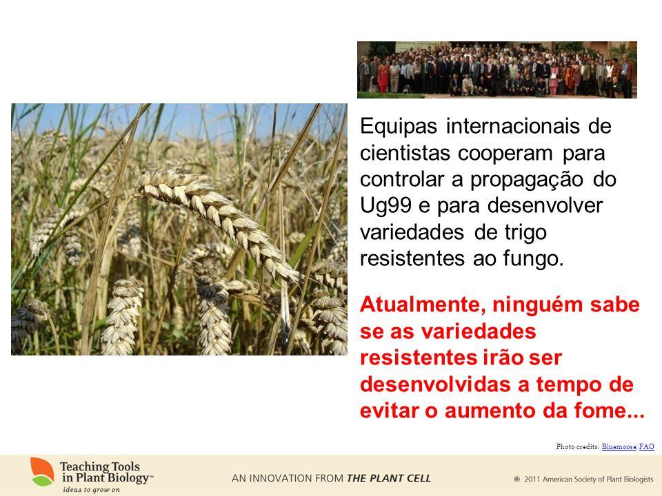 Equipas internacionais de cientistas cooperam para controlar a propagação do Ug99 e para desenvolver variedades de trigo resistentes ao fungo.
