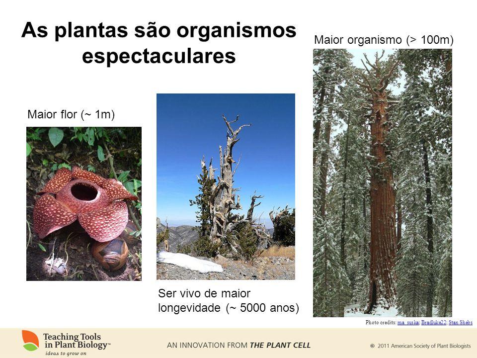 As plantas são organismos espectaculares Maior flor (~ 1m) Ser vivo de maior longevidade (~ 5000 anos) Maior organismo (> 100m) Photo credits: ma_susk