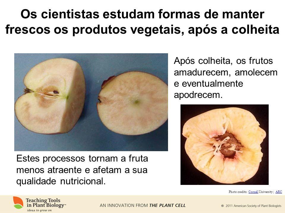 Os cientistas estudam formas de manter frescos os produtos vegetais, após a colheita Após colheita, os frutos amadurecem, amolecem e eventualmente apodrecem.