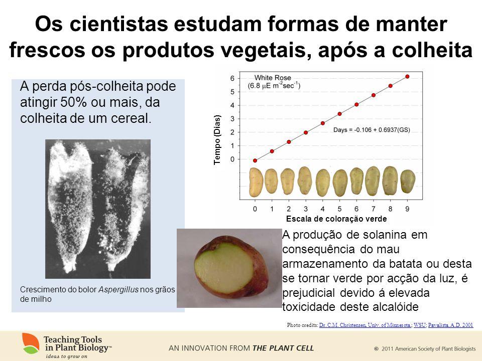 A produção de solanina em consequência do mau armazenamento da batata ou desta se tornar verde por acção da luz, é prejudicial devido á elevada toxicidade deste alcalóide Photo credits: Dr.