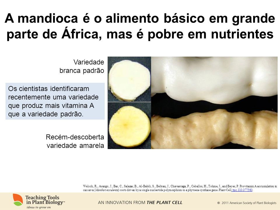 A mandioca é o alimento básico em grande parte de África, mas é pobre em nutrientes Os cientistas identificaram recentemente uma variedade que produz
