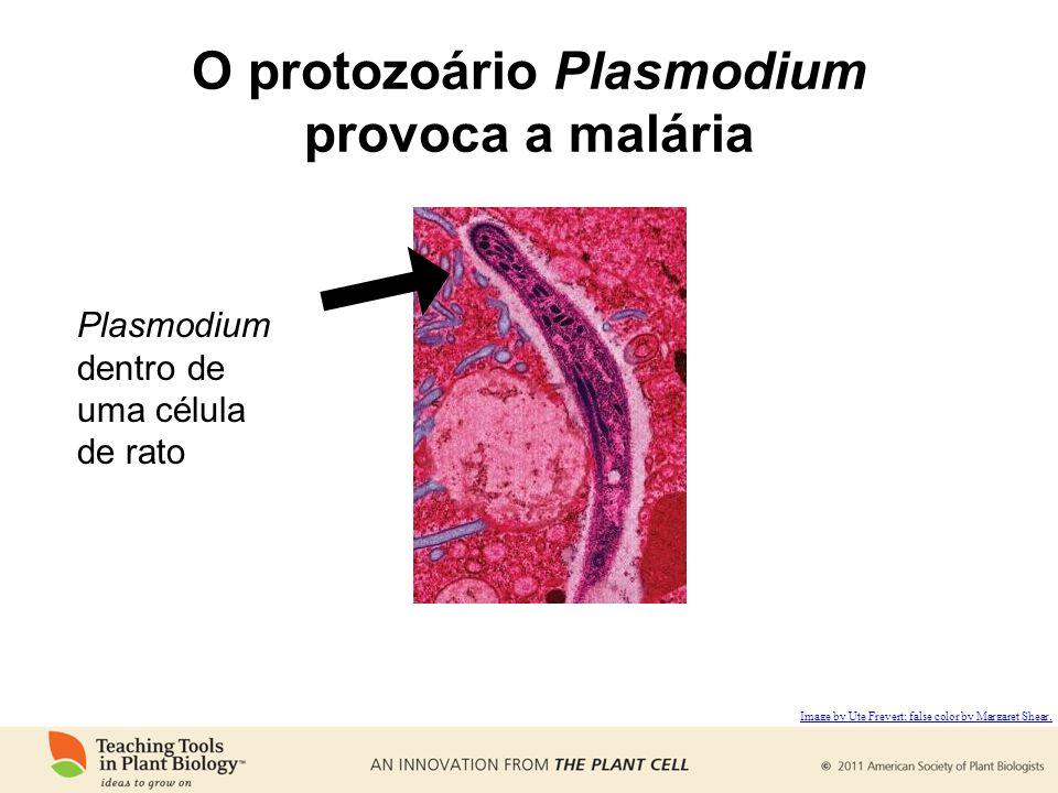 O protozoário Plasmodium provoca a malária Plasmodium dentro de uma célula de rato Image by Ute Frevert; false color by Margaret Shear.