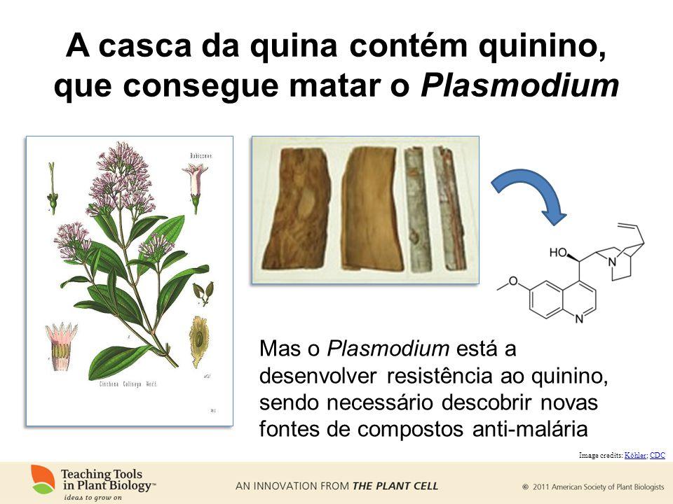 Mas o Plasmodium está a desenvolver resistência ao quinino, sendo necessário descobrir novas fontes de compostos anti-malária Image credits: Köhler; CDCKöhlerCDC A casca da quina contém quinino, que consegue matar o Plasmodium