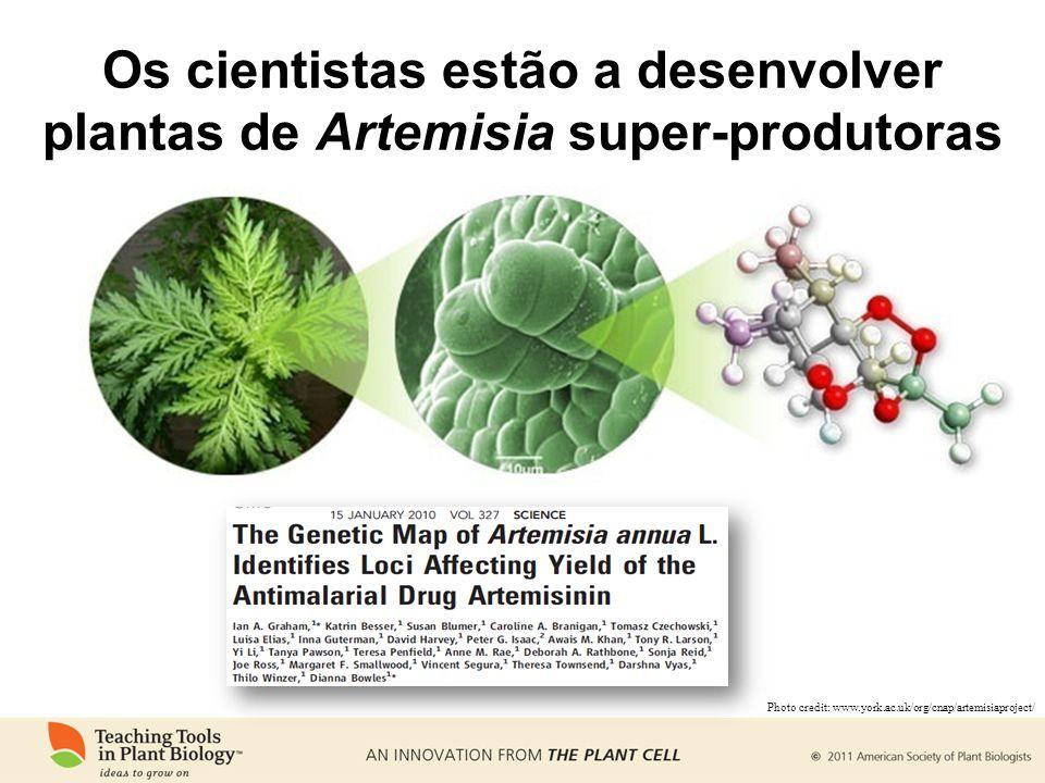 Os cientistas estão a desenvolver plantas de Artemisia super-produtoras Photo credit: www.york.ac.uk/org/cnap/artemisiaproject/