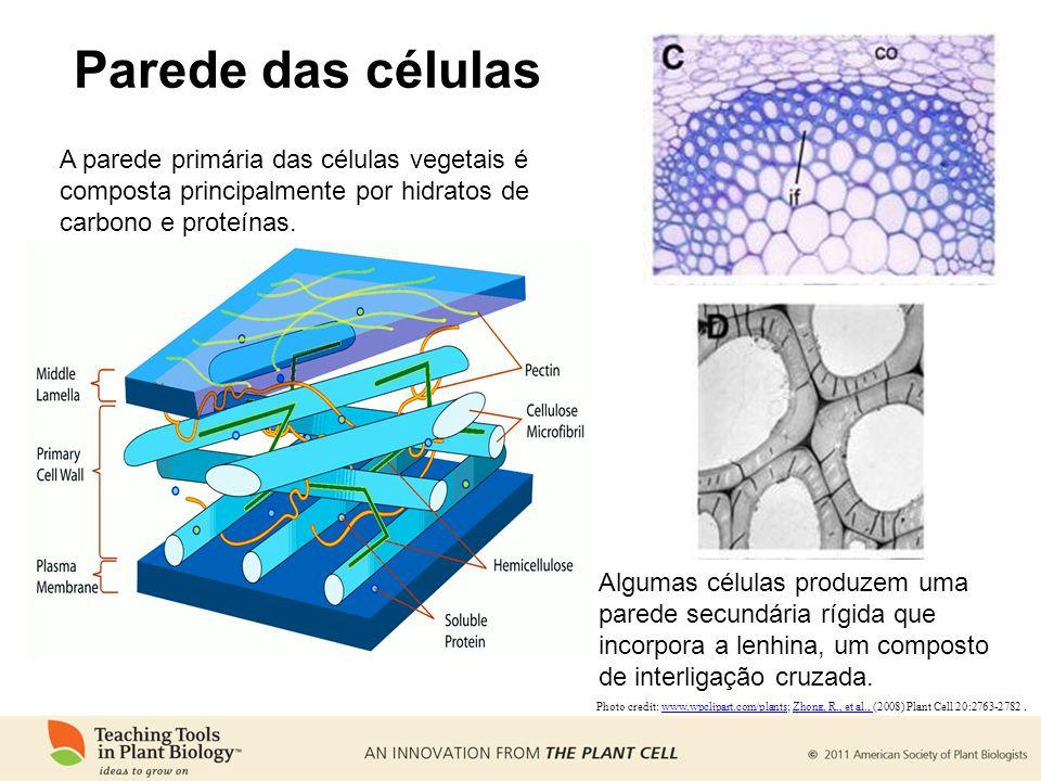 Parede das células Photo credit: www.wpclipart.com/plants; Zhong, R., et al., (2008) Plant Cell 20:2763-2782.www.wpclipart.com/plantsZhong, R., et al., A parede primária das células vegetais é composta principalmente por hidratos de carbono e proteínas.
