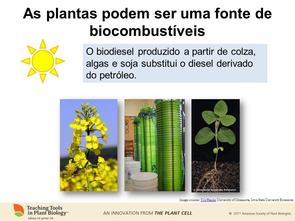 As plantas podem ser uma fonte de biocombustíveis Image sources: Tilo Hauke, University of Minnesota, Iowa State University Extension.Tilo Hauke O bio