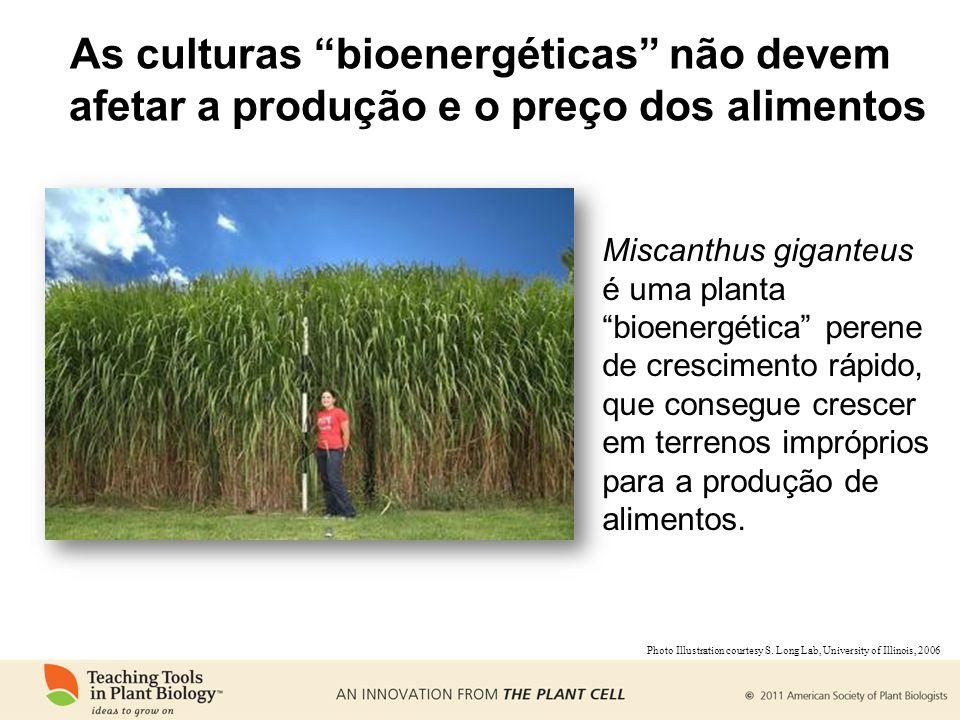 As culturas bioenergéticas não devem afetar a produção e o preço dos alimentos Miscanthus giganteus é uma planta bioenergética perene de crescimento rápido, que consegue crescer em terrenos impróprios para a produção de alimentos.