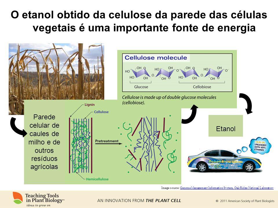 O etanol obtido da celulose da parede das células vegetais é uma importante fonte de energia Parede celular de caules de milho e de outros resíduos agrícolas Etanol Image source: Genome Management Information System, Oak Ridge National LaboratoryGenome Management Information System, Oak Ridge National Laboratory