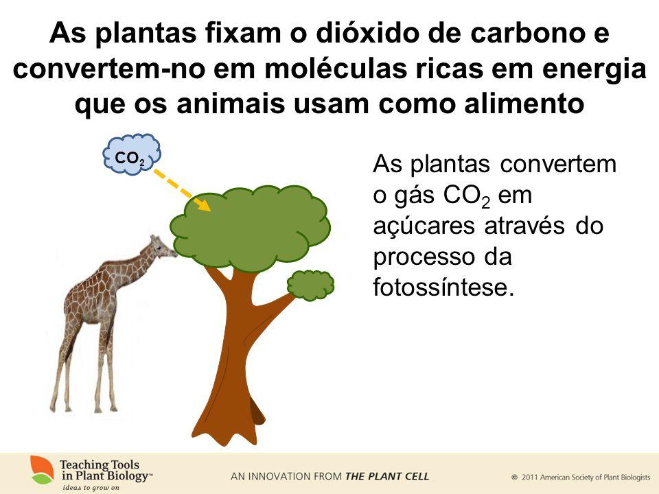 As plantas fixam o dióxido de carbono e convertem-no em moléculas ricas em energia que os animais usam como alimento CO 2 As plantas convertem o gás CO 2 em açúcares através do processo da fotossíntese.