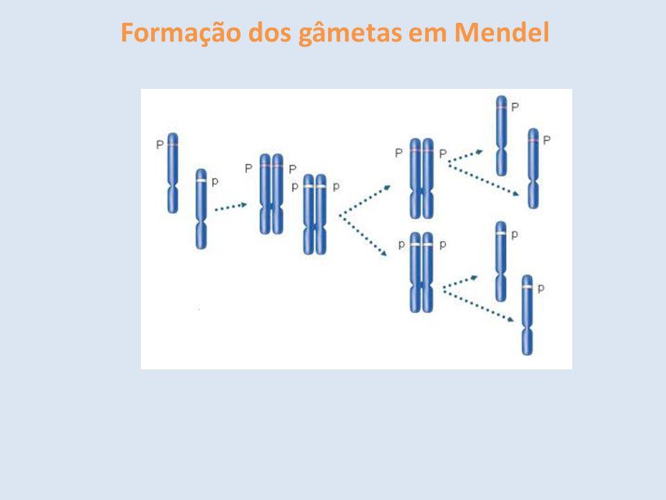Formação dos gâmetas em Mendel