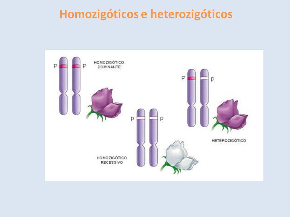Homozigóticos e heterozigóticos
