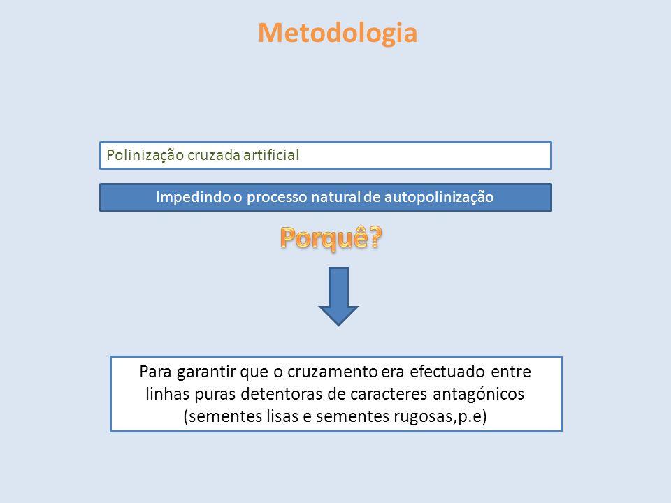 Metodologia Polinização cruzada artificial Impedindo o processo natural de autopolinização Para garantir que o cruzamento era efectuado entre linhas p
