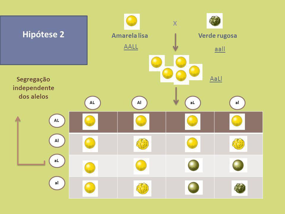 Hipótese 1Hipótese 2 Análise fenotípica Gâmetas Geração F1 AL al AL Al aL al 3/4 sementes amarelas e lisas 1/4 de sementes verdes e rugosas 9/16 sementes amarelas e lisas 3/16 de sementes amarelas e rugosas 3/16 sementes verdes e lisas 1/16 de sementes verdes e rugosas