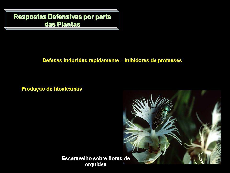 Respostas Defensivas por parte das Plantas Defesas induzidas rapidamente – inibidores de proteases Produção de fitoalexinas Escaravelho sobre flores d