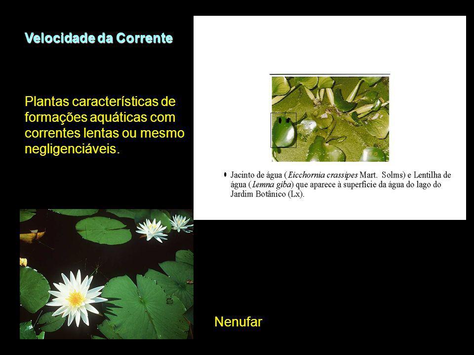 Velocidade da Corrente Nenufar Plantas características de formações aquáticas com correntes lentas ou mesmo negligenciáveis.