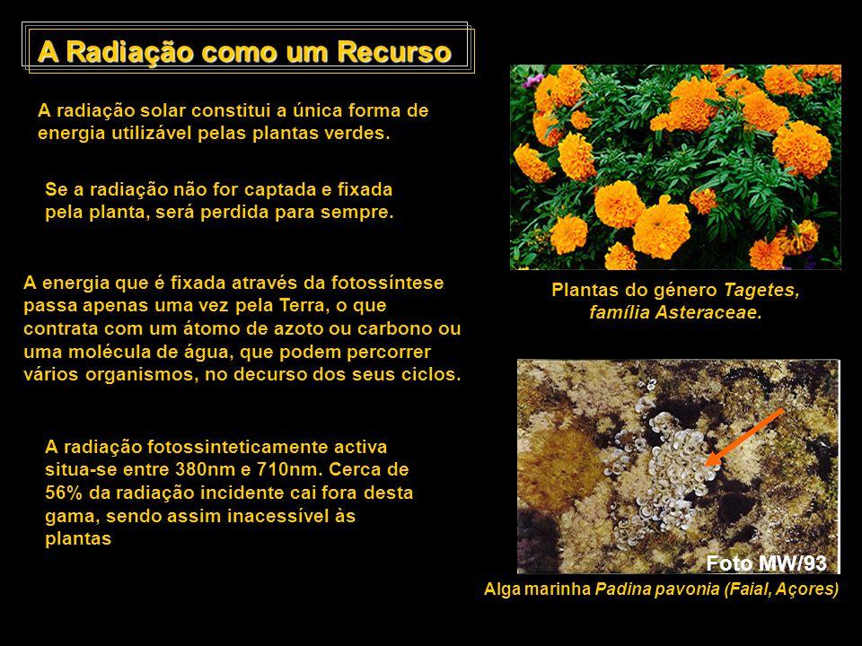 A Radiação como um Recurso (cont.) As espécies variam na sua capacidade de utilização da radiação como um recurso A capacidade fotossintética das folhas apresenta uma variação significativa.