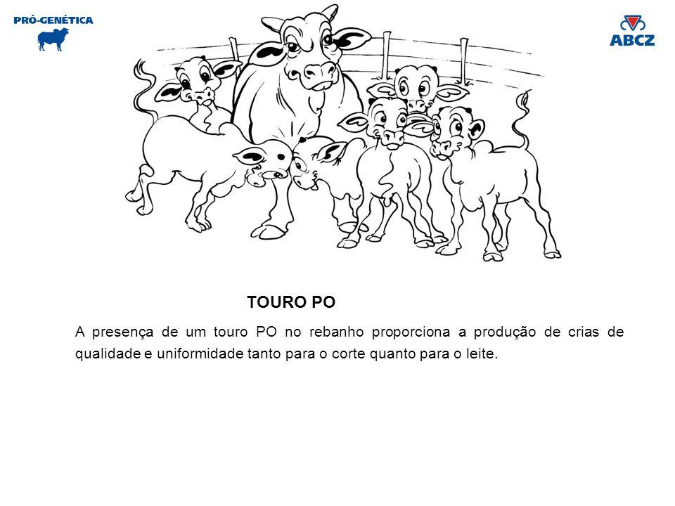A presença de um touro PO no rebanho proporciona a produção de crias de qualidade e uniformidade tanto para o corte quanto para o leite. TOURO PO