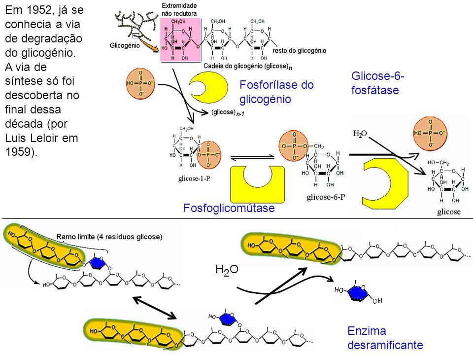 Fosforílase do glicogénio Fosfoglicomútase Glicose-6- fosfátase Em 1952, já se conhecia a via de degradação do glicogénio. A via de síntese só foi des