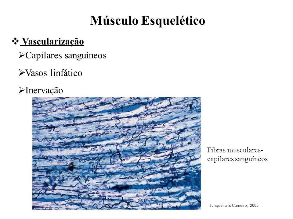 Fibras musculares- capilares sanguíneos Capilares sanguíneos Vasos linfático Inervação Músculo Esquelético Vascularização Junqueira & Carneiro, 2005