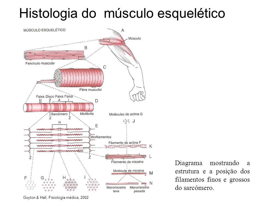 Histologia do músculo esquelético Diagrama mostrando a estrutura e a posição dos filamentos finos e grossos do sarcômero. Guyton & Hall, Fisiologia mé