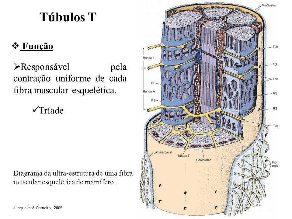 Diagrama da ultra-estrutura de uma fibra muscular esquelética de mamífero. Túbulos T Função Responsável pela contração uniforme de cada fibra muscular