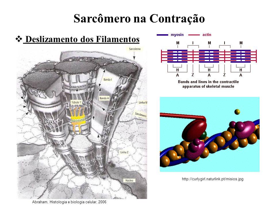 Sarcômero na Contração Deslizamento dos Filamentos Abraham, Histologia e biologia celular, 2006 http://curlygirl.naturlink.pt/misios.jpg