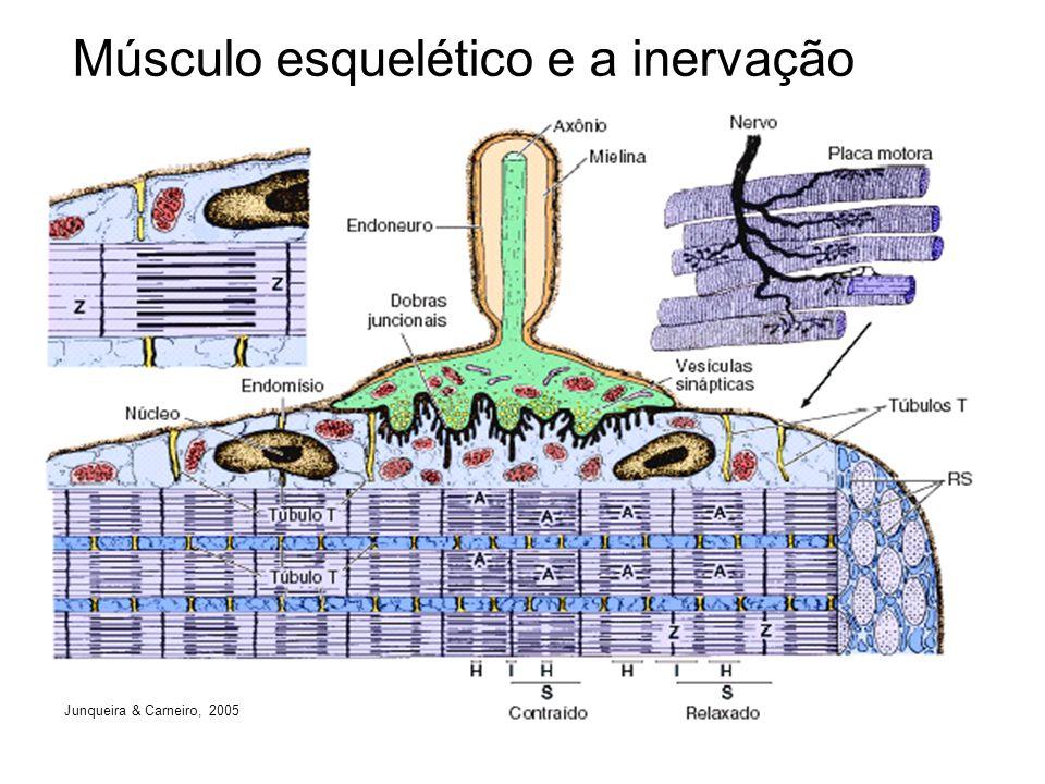 Músculo esquelético e a inervação Junqueira & Carneiro, 2005