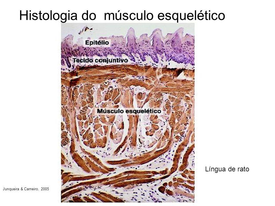Histologia do músculo esquelético Língua de rato Junqueira & Carneiro, 2005