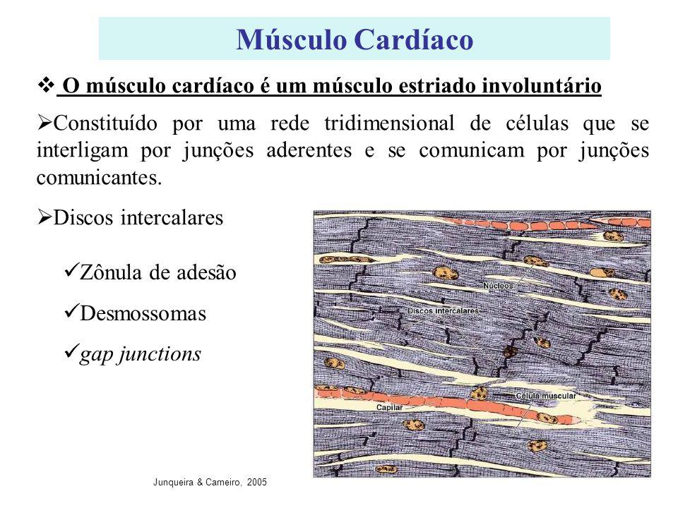 Músculo Cardíaco Constituído por uma rede tridimensional de células que se interligam por junções aderentes e se comunicam por junções comunicantes. D
