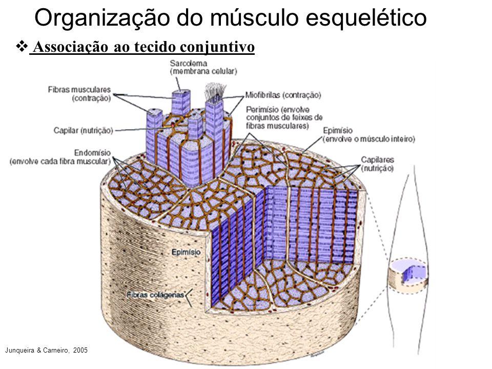 Organização do músculo esquelético Associação ao tecido conjuntivo Junqueira & Carneiro, 2005