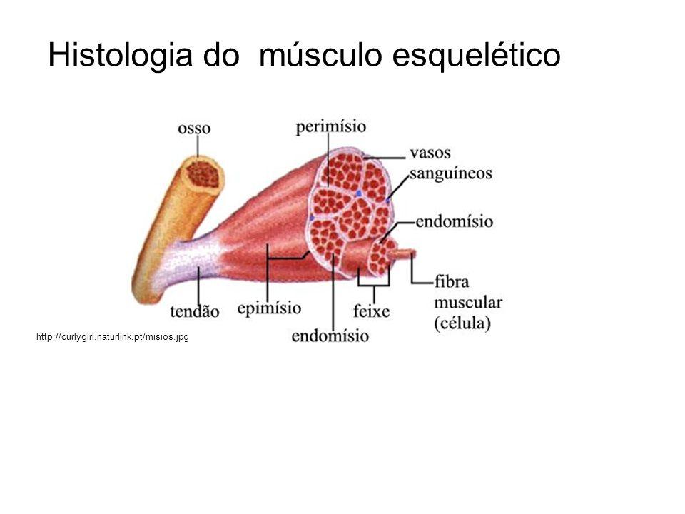 Histologia do músculo esquelético http://curlygirl.naturlink.pt/misios.jpg