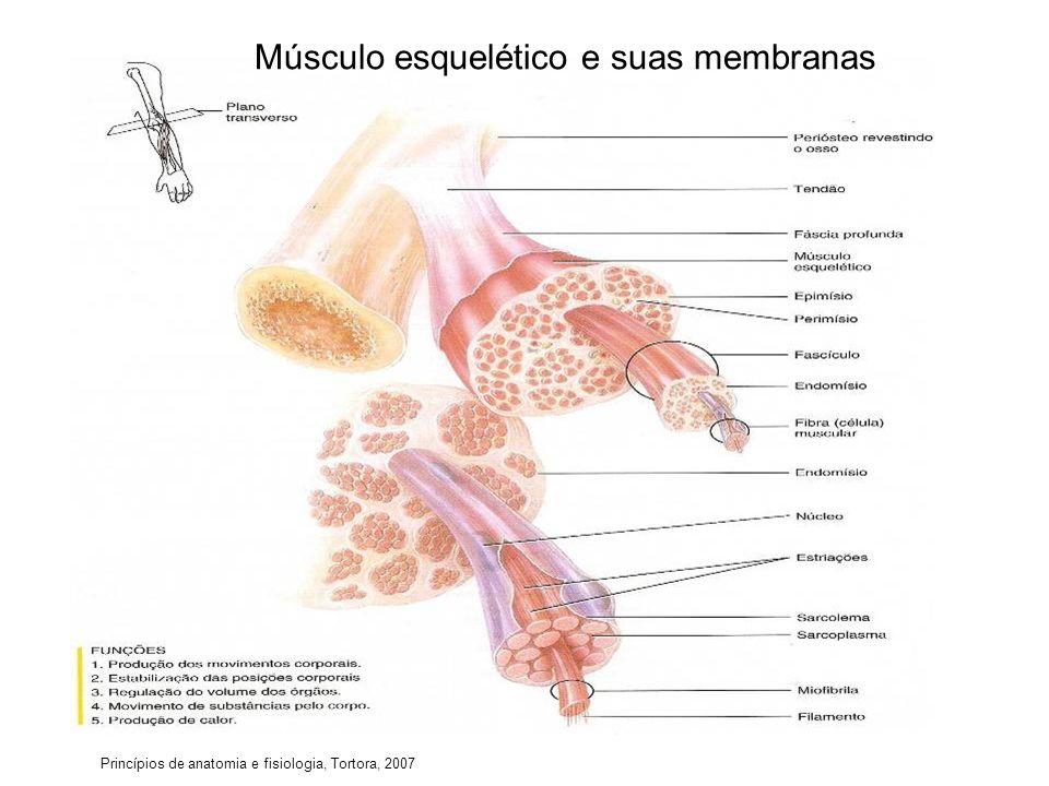 Princípios de anatomia e fisiologia, Tortora, 2007 Músculo esquelético e suas membranas