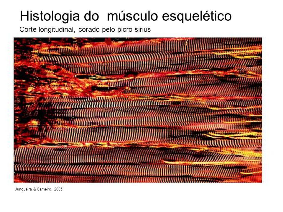 Histologia do músculo esquelético Corte longitudinal, corado pelo picro-sirius Junqueira & Carneiro, 2005