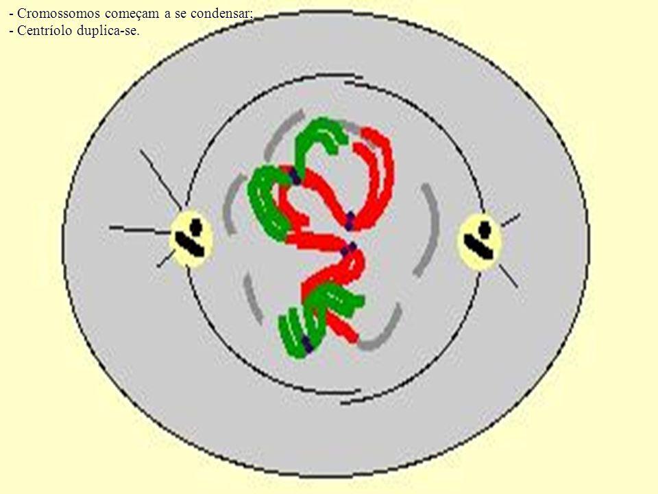 - Cromossomos começam a se condensar; - Centríolo duplica-se.