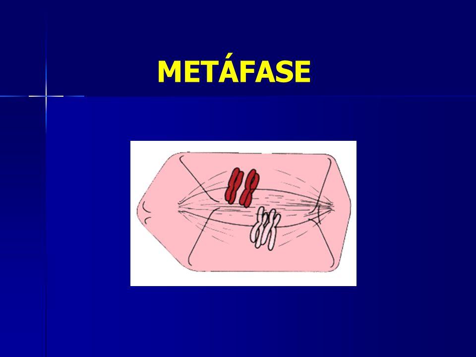 METÁFASE