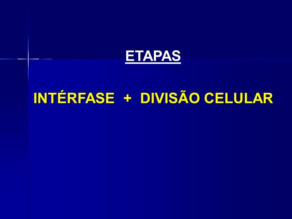 ETAPAS INTÉRFASE + DIVISÃO CELULAR INTÉRFASE + DIVISÃO CELULAR