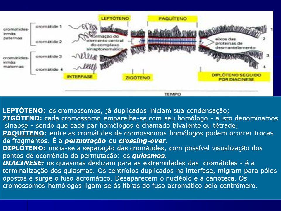LEPTÓTENO: os cromossomos, já duplicados iniciam sua condensação; ZIGÓTENO: cada cromossomo emparelha-se com seu homólogo - a isto denominamos sinapse