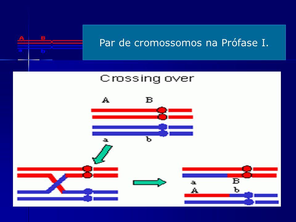 Par de cromossomos na Prófase I.
