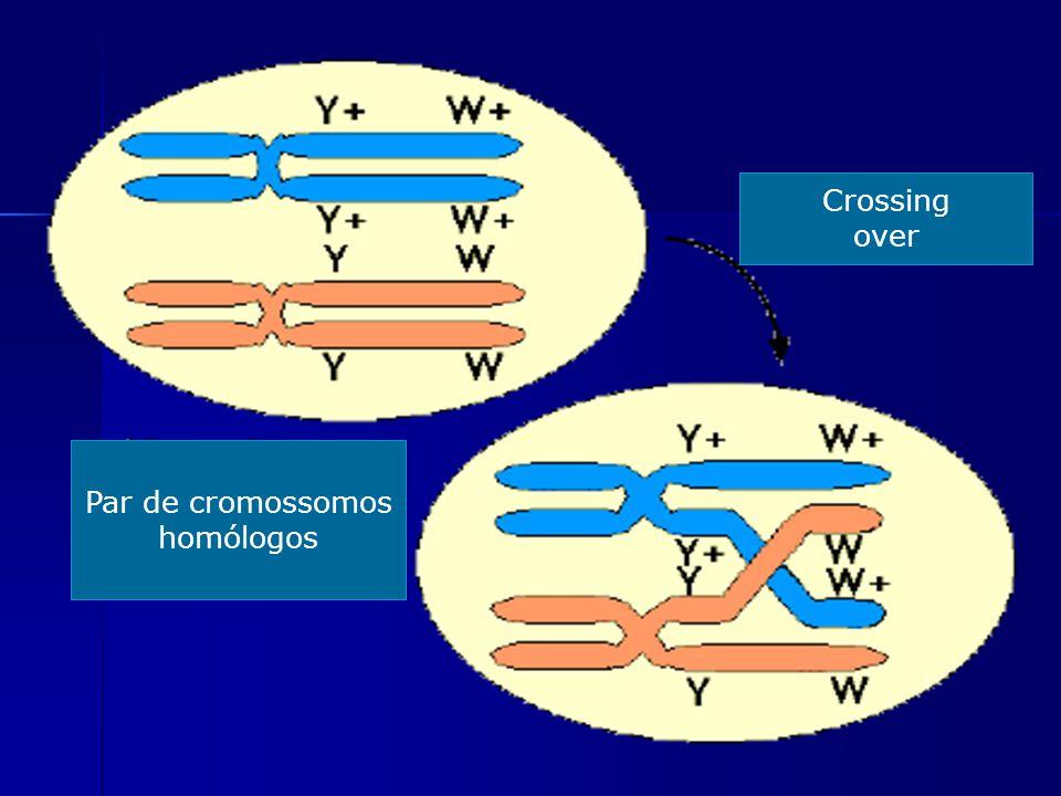 Crossing over Par de cromossomos homólogos