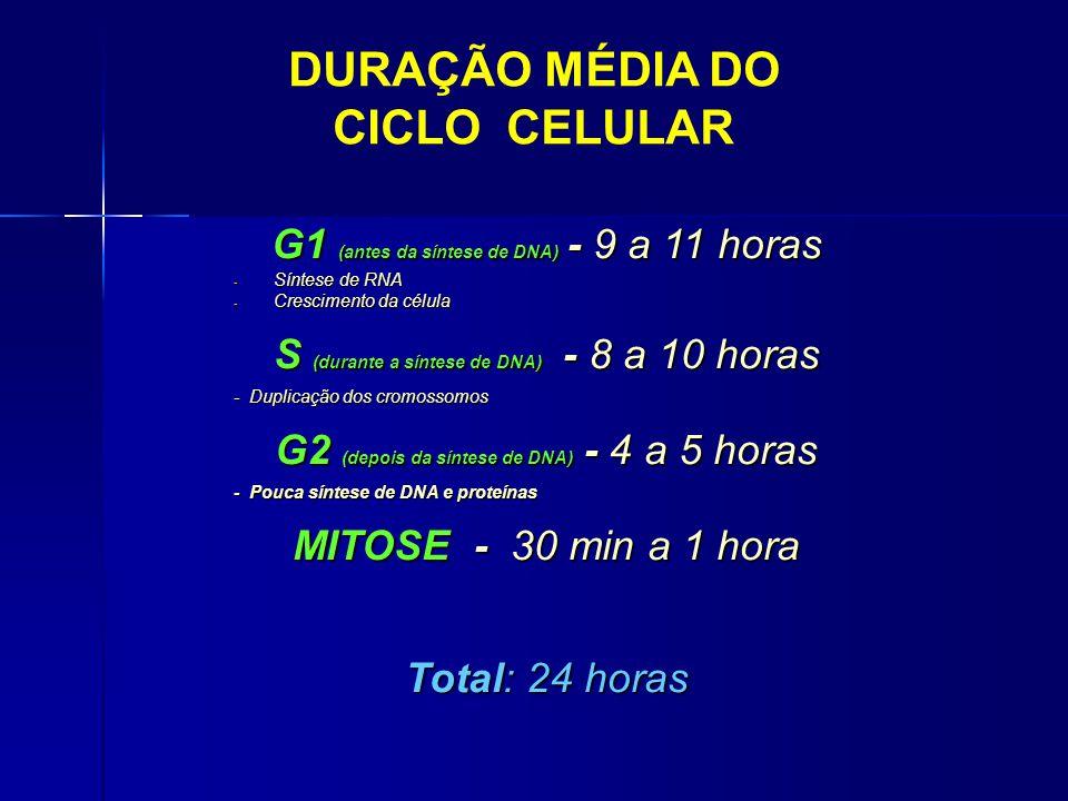 DURAÇÃO MÉDIA DO CICLO CELULAR G1 (antes da síntese de DNA) - 9 a 11 horas - Síntese de RNA - Crescimento da célula S (durante a síntese de DNA) - 8 a