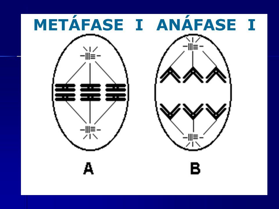 METÁFASE IANÁFASE I