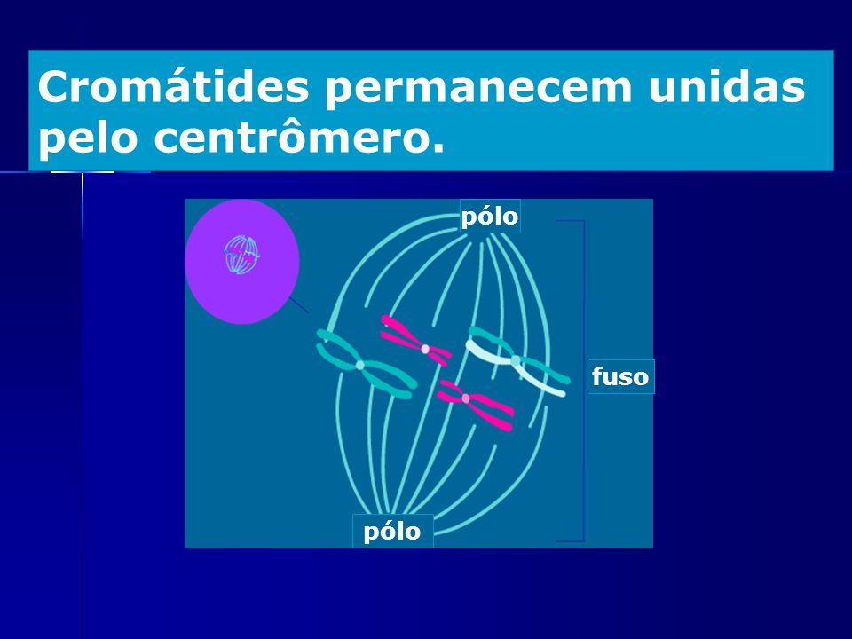 Cromátides permanecem unidas pelo centrômero. fuso pólo