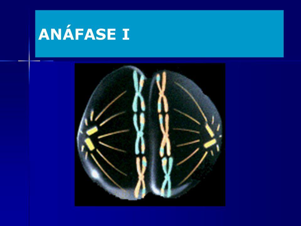 ANÁFASE I