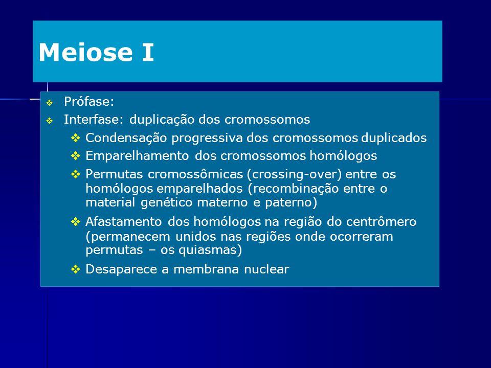 Meiose I Prófase: Interfase: duplicação dos cromossomos Condensação progressiva dos cromossomos duplicados Emparelhamento dos cromossomos homólogos Pe