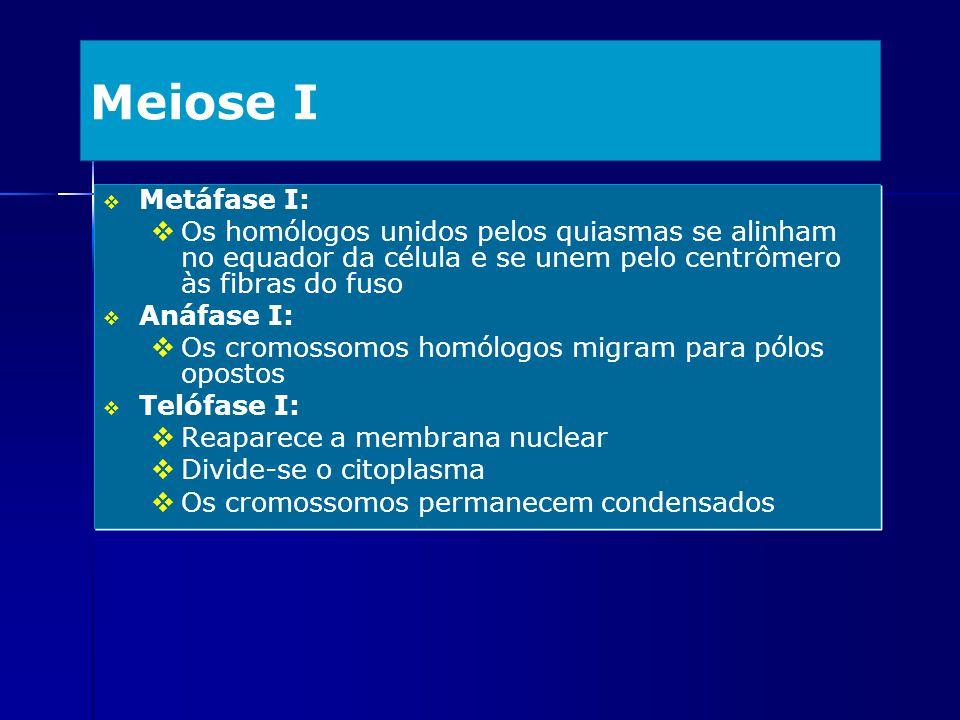 Meiose I Metáfase I: Os homólogos unidos pelos quiasmas se alinham no equador da célula e se unem pelo centrômero às fibras do fuso Anáfase I: Os crom