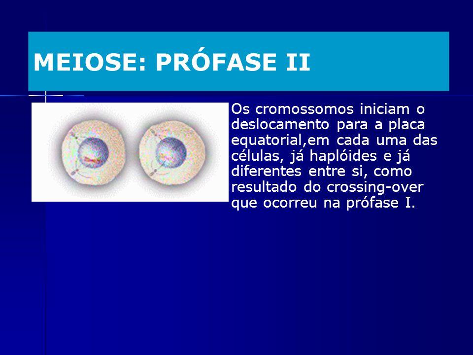 MEIOSE: PRÓFASE II Os cromossomos iniciam o deslocamento para a placa equatorial,em cada uma das células, já haplóides e já diferentes entre si, como
