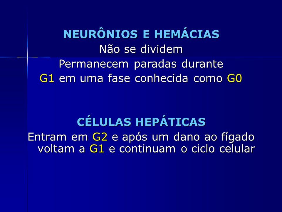 NEURÔNIOS E HEMÁCIAS Não se dividem Permanecem paradas durante G1 em uma fase conhecida como G0 CÉLULAS HEPÁTICAS Entram em G2 e após um dano ao fígad