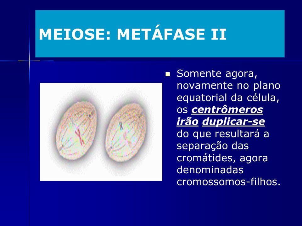 MEIOSE: METÁFASE II Somente agora, novamente no plano equatorial da célula, os centrômeros irão duplicar-se do que resultará a separação das cromátide