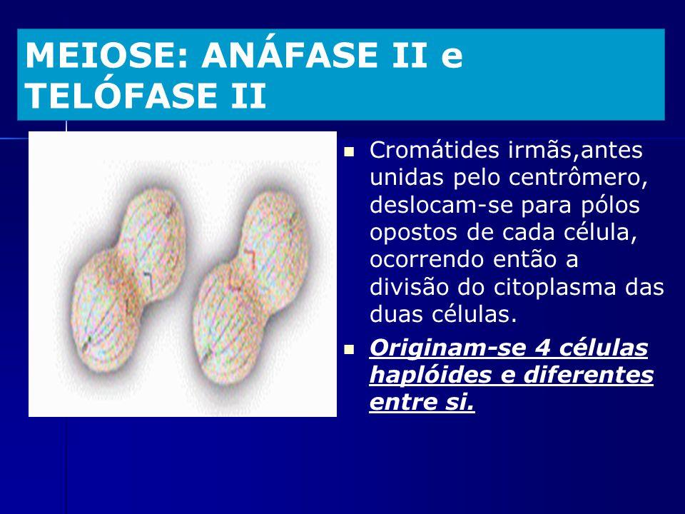 MEIOSE: ANÁFASE II e TELÓFASE II Cromátides irmãs,antes unidas pelo centrômero, deslocam-se para pólos opostos de cada célula, ocorrendo então a divis