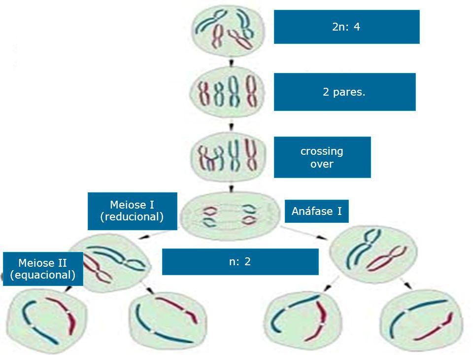 2n: 4 2 pares. crossing over Meiose I (reducional) Anáfase I n: 2 Meiose II (equacional)